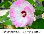 Hardy Hibiscus Luna Rose Flowe...