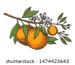 Orange Citrus Tree Branch Color ...