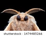 Poodle Moth From Extreme Macro...