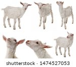 White Goat Collection Isolated...