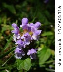 Small photo of Close-up of the flowers of a common self-heal. scientific name Prunella vulgaris