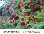 Blackberries Ripening In The...