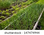 Green Onions Growing In The...