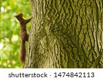 Curious Red Squirrel Climbing...