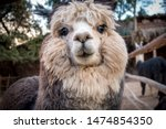 Tender Look Of An Alpaca. This...