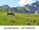 Cow In An Alpine Meadow....