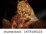 Leopard Resting On A Tree Blac...