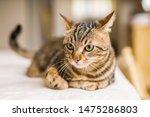 Beautiful Short Hair Cat Lying...