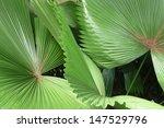 Fan Palm Leaves In Singapore...