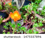 orange flower in garden... | Shutterstock . vector #1475337896