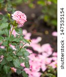 Stock photo one alone beautiful pink rose in a garden 147535154