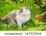Stock photo gray white kitten with blue eyes on grass 147535544
