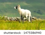 Swaledale Ewe  With Shorn...