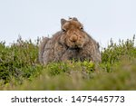 Stock photo mountain hare lepus timidus looking miserable in summer pelage scottish highlands 1475445773