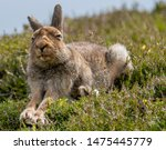 Stock photo mountain hare lepus timidus stretching in summer pelage scottish highlands 1475445779