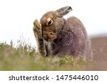 Stock photo mountain hare lepus timidus grooming in summer pelage scottish highlands 1475446010