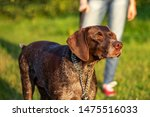 Stock photo walking a big dog without a muzzle mouth guard 1475516033