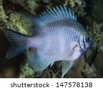 Small photo of SUDAN, Red Sea, U.W. photo, Staghorn damselfish (Amblyglyphidodon curacao)