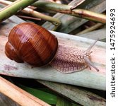 Small photo of Macro photo nature mollusk snail Helix pomatia. Snail on the background of moss. Snail in shell
