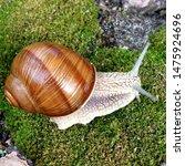 Stock photo macro photo nature mollusk snail helix pomatia snail on the background of moss 1475924696