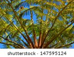 Small photo of Tree Fern - Alsophila Dregei
