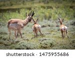 Pronghorn Mother With Two Fawns