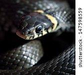 Grass Snake Close Up