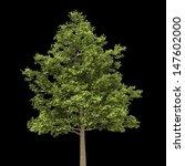 Field Maple Tree Isolated On...