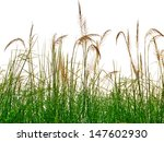 Reeds Of Grass Isolated On...