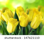 Beautiful Yellow Tulips On...