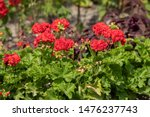 Decorative Red Geranium Flower...