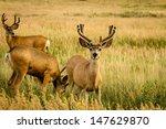 3 Mule Deer Bucks Grazing In...