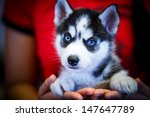 Siberian Husky Puppy With Blue...