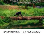 Chimpanzees Walking In The Zoo