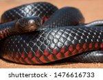 Australian Red Bellied Black...