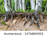 Aspen Forest Tree Roots...