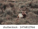 A Single Male Or Bull Tule Elk...