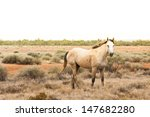 Small photo of A wild horse, brumby, in the outback of the Northern Territory of Australia