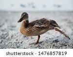 Young Mallard Duck Doing...