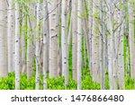 Aspen Forest Trees Pattern In...