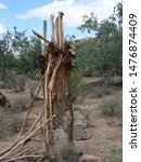 Artifact cactus tree - desert of Arziona