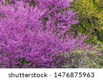 Redbud Tree Branches With Many...