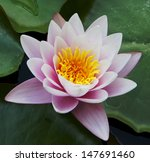 Beautiful Water Lily On The...