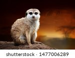 close meerkat on savanna... | Shutterstock . vector #1477006289
