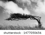 Small photo of A resilient lone tree bends to the elements - strength in adaptability