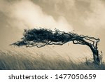 A Resilient Lone Tree Bends To...