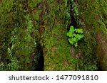 Clover Leaf On A Mossy Bark In...