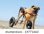 Disabled canine - stock photo