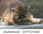 The cougar (Puma concolor)known as mountain lion, panther, puma and catamount.