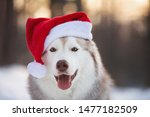 Stock photo close up portrait of cute funny and happy siberian husky dog with closed eyes sitting in the 1477182509